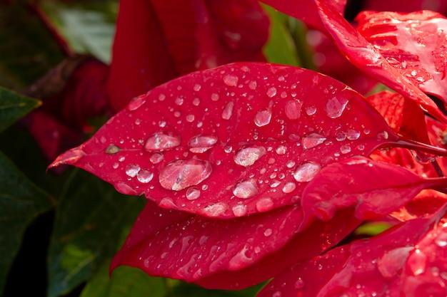 Red poinsettia flower, euphorbia pulcherrima with dew drops