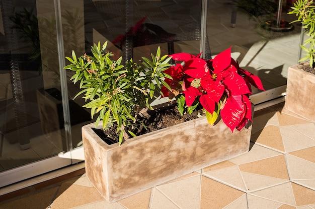 Красный цветок пуансеттия в горшке традиционное рождественское украшение Premium Фотографии