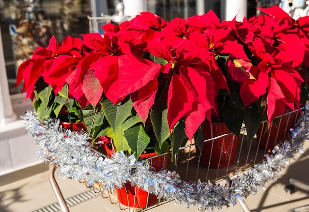 Red poinsettia flower in pot traditional christmas decoration