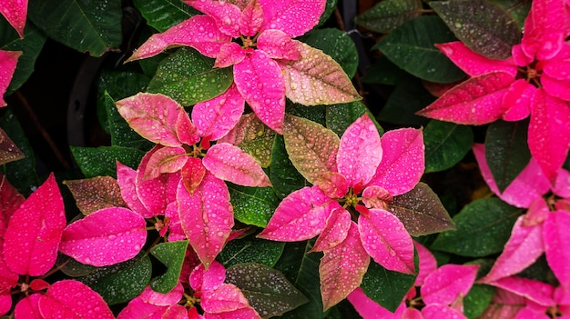 Red poinsettia plant in a garden.