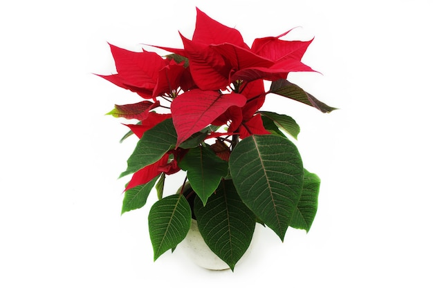 Red poinsettia - traditional christmas flower in a pot.