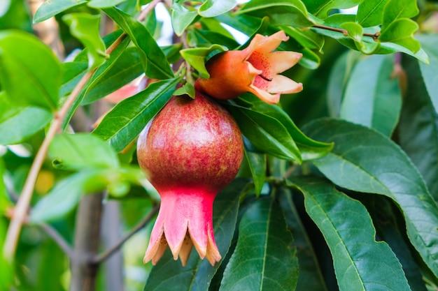 Красный цветок гранатового дерева цветение открытый в летнем саду.