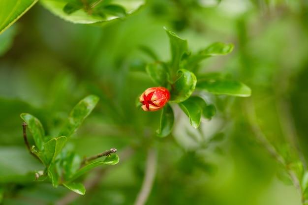 Красные цветы граната на цветущем дереве граната в саду. цветы граната с бутонами на ветке с зелеными листьями.