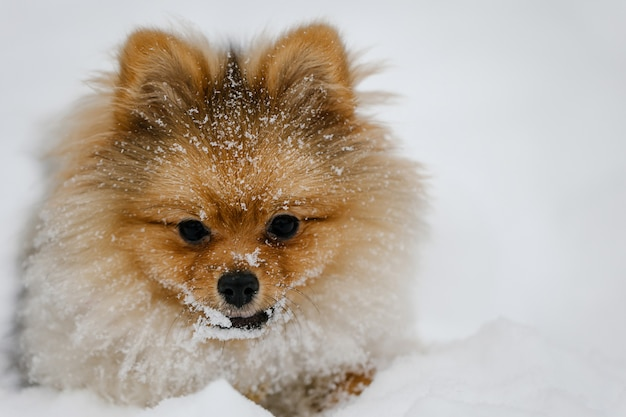 Red pomeranian puppy dog breed outdoors in winter