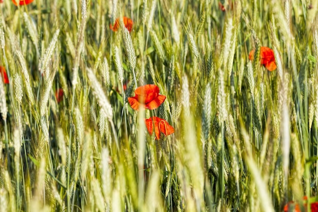 Red poppies on agricultural land along with green unripe crops of wheat or other cereals, red poppy flowers bloom to produce poppy seeds