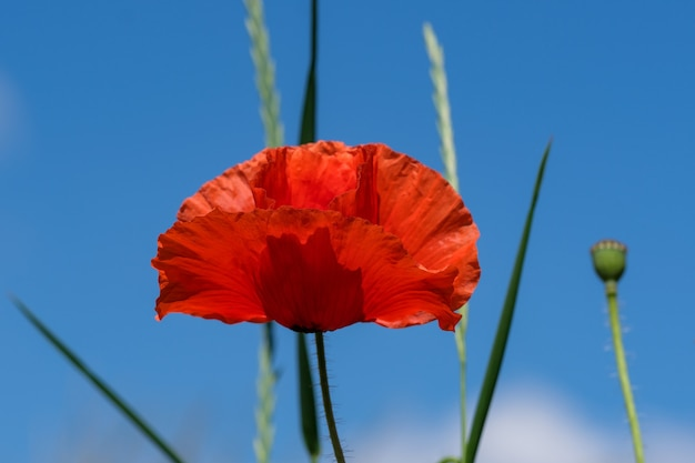 Red poppies bloom beautifully against the blue sky on a sunny summer day close-up