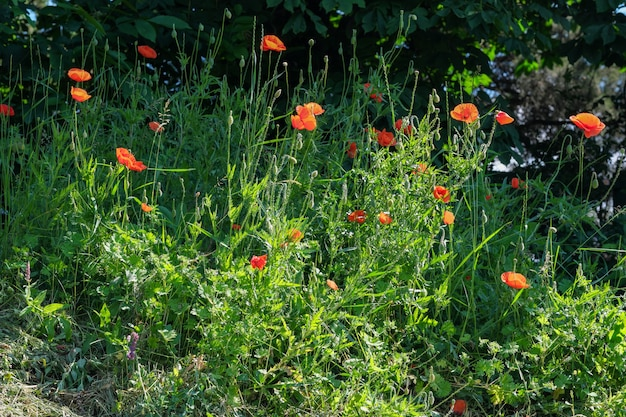 Red poppies bloom beautifully on a sunny summer day close-up