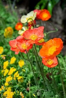 夏の庭に赤いポピーが咲く