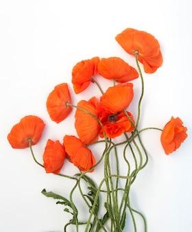 흰색 배경에 고립 된 빨간 양 귀 비 꽃다발