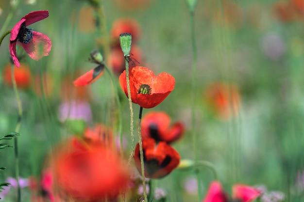 緑の春の牧草地の背景に赤いポピーのクローズアップ。