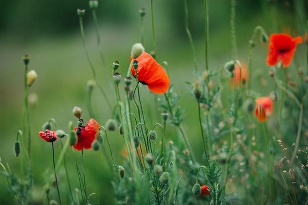 緑の野原に咲く赤いポピーのクローズアップ。