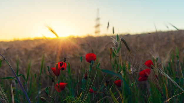 Red poppies in the field at dawn