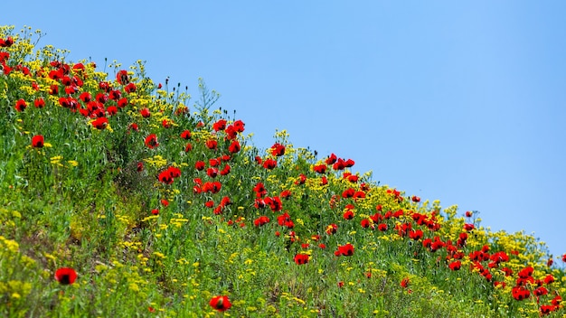 봄 날 풍경, 자연에에서 빨간 양 귀 비 필드