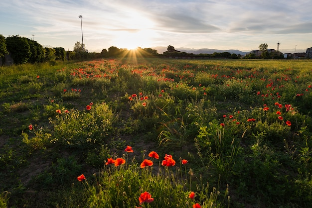 Red poppies field, spring season blooming