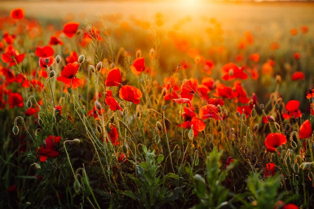 Red poppies field at sunset. soft focus.