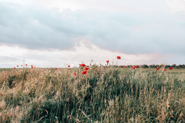 Red poppies in the field in the sunset with selective focus glade of red poppies in evening nature