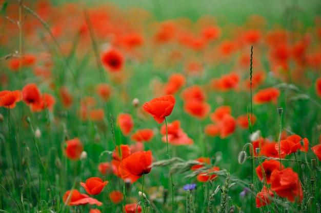 Поле красных маков с цветами летом