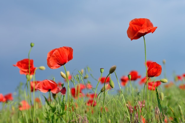 Red poppies flower field