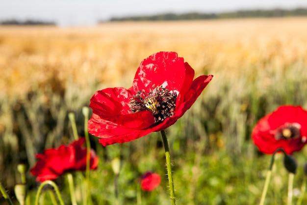 필드에 빨간 양 귀 비 여름 필드에 빨간 양 귀 비의 근접 촬영 꽃