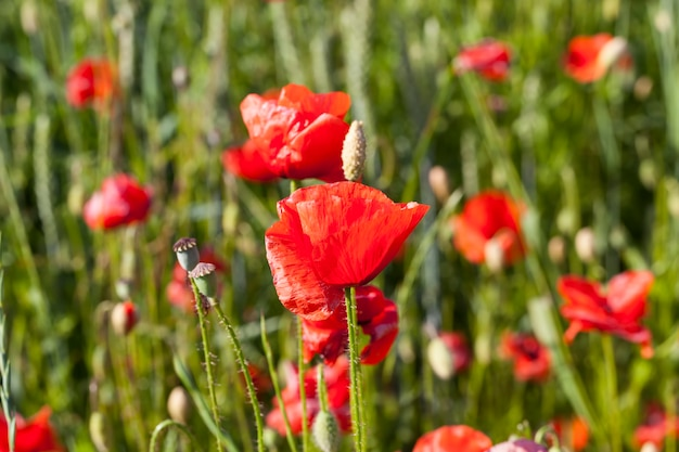 시들기 시작한 꽃이 있는 들판의 빨간 양귀비, 흠집이 있는 여름 빨간 양귀비