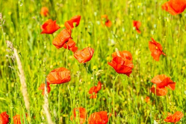 화창한 날에 여름 초원에 빨간 양 귀 비. 가로 샷