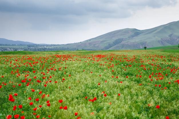 산의 배경에 빨간 양 귀 비입니다. 피 양 귀 비 필드와 아름 다운 여름 풍경입니다. 키르기스스탄 관광 및 여행.