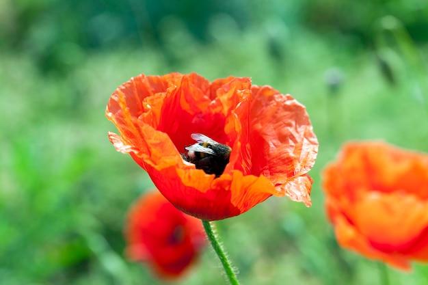 赤いポピー。夏-春に成長する小さな赤いポピー