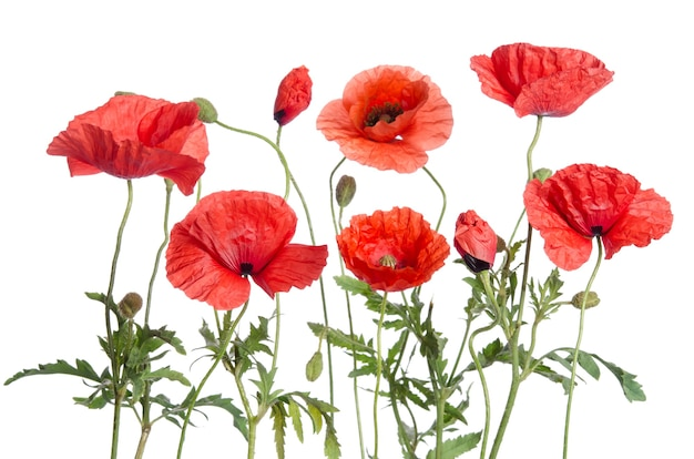 Red poppies on white surface