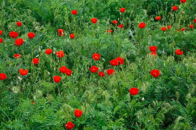 붉은 양귀비. 푸른 잔디의 배경에 야생 꽃입니다. 여름 자연 배경입니다.