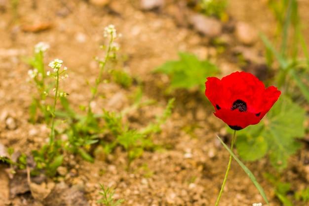 Красный мак крупным планом и макрос, мак в поле, сезонный цветок