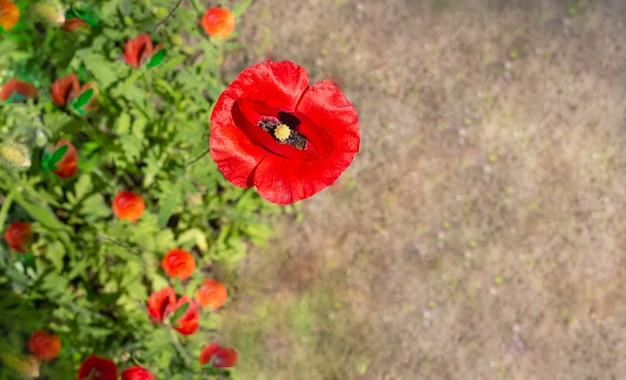 Красный мак крупным планом красивые красные цветы со светло-коричневой копией пространства естественные обои