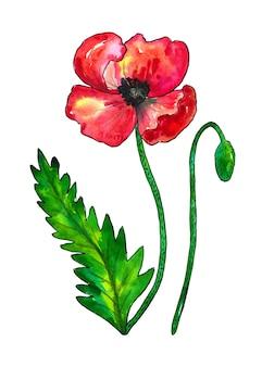 Красный мак. красочный цветок и зеленые листья. акварель рисованной иллюстрации изолированы.