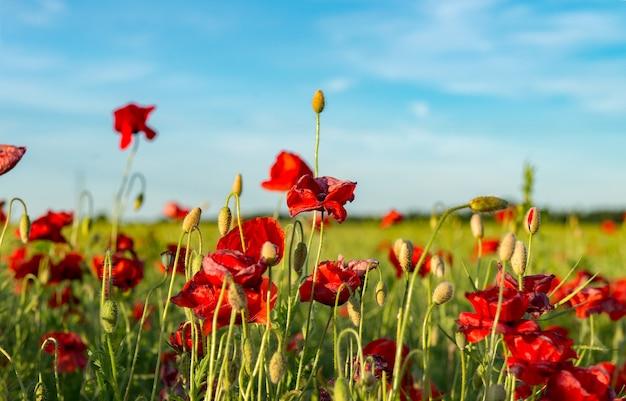 日光に照らされた赤いポピー畑雄大な夕日が暖かな光の空と緑豊かな野原で照らされます