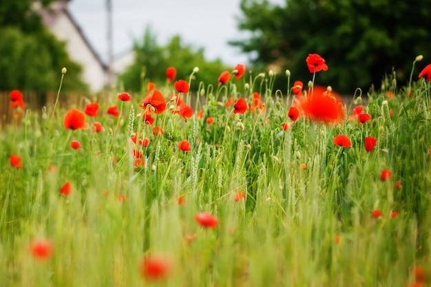 Red poppy field in summer daylight