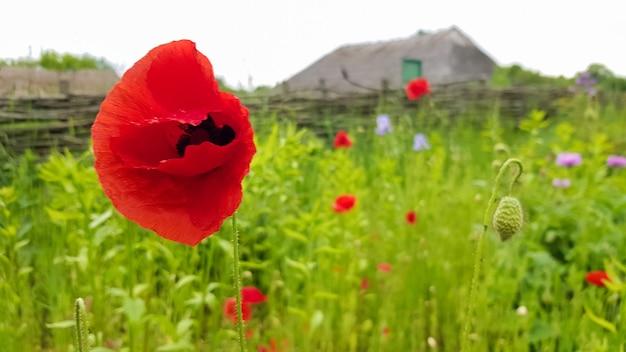 ポピー科の草本植物の一種である赤いケシの花は、草原、半砂漠、砂漠、山の乾燥した岩だらけの斜面の乾燥した場所で育ちます。コピースペースのある美しい背景。