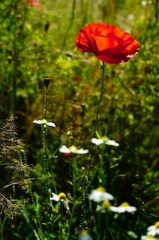 Красный цветок мака и белые ромашки в саду