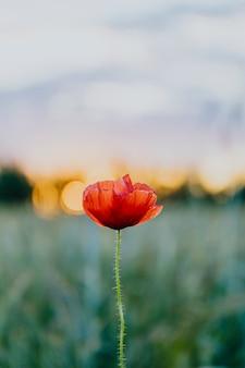 Красный цветок мака на закате в летнем поле