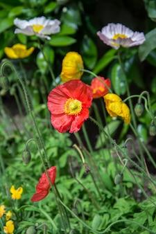 夏の庭に赤いポピーの花が咲く