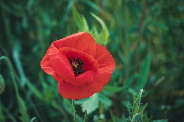 Red poppy flower in a green field