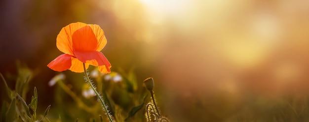 日没時に庭の赤いケシの花。パノラマ。コピースペース