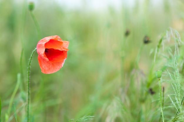 背景をぼかした写真の緑の草に赤いケシの花