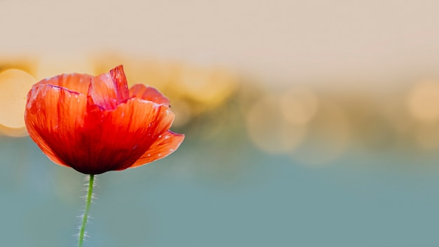 Red poppy flower at sunset in a summer field