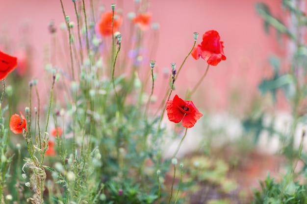 赤いケシの花の表面