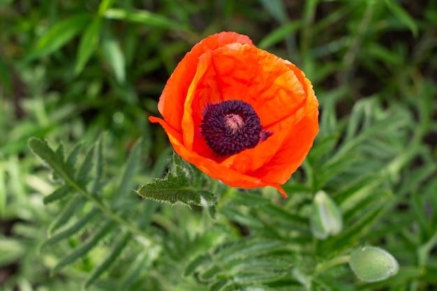 빨간 양 귀 비 꽃