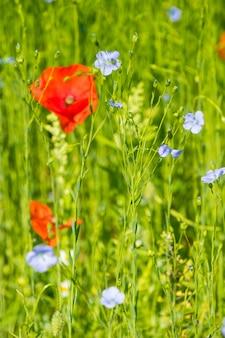 Red poppy flowers on blue flax field