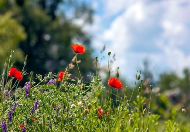 赤いケシの花がぼやけて背景青空緑の草