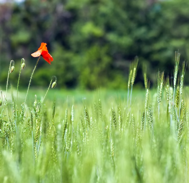 Red poppy flowers blurred background  green grass wheat