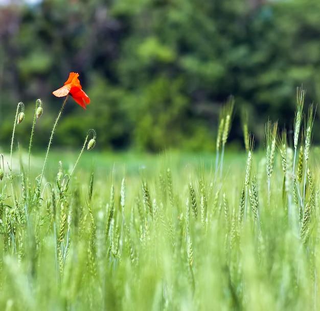 赤いケシの花ぼやけて背景緑の草小麦