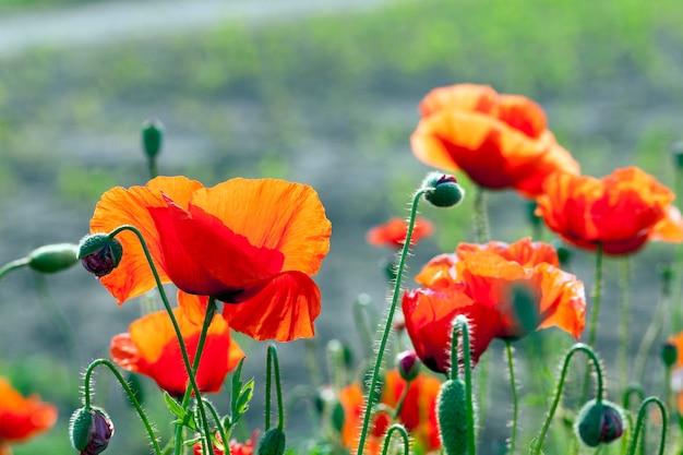赤いポピーの花、畑に生えている赤いポピーの花のクローズアップ。夏