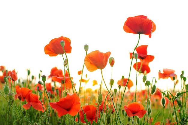 Поле красных цветов мака в свете восхода солнца